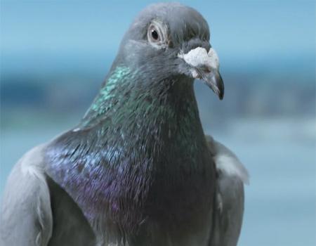 JetBlue, günümüz sivil havacılığını güvercinlerle betimliyor.