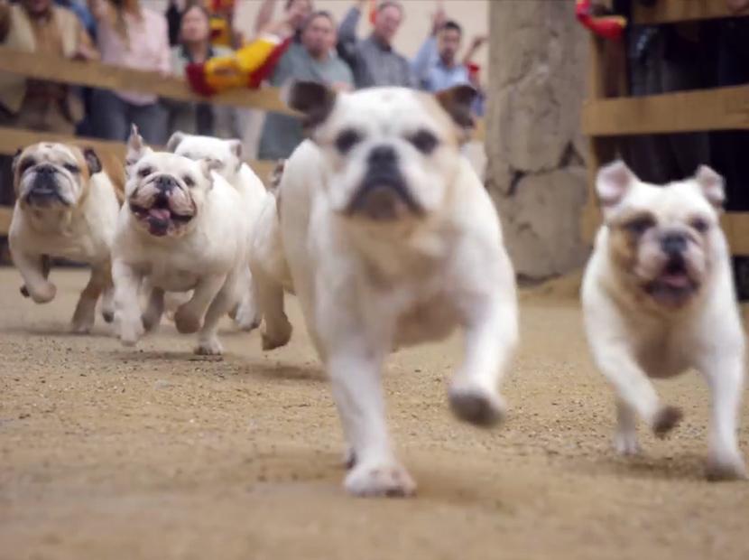 Boğaların görevi bulldog'lara emanet