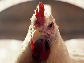 Biraz tavuk biraz DMX
