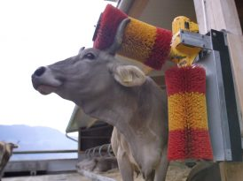 İsviçreli ineklerin mutluluğu parmaklarınızın ucunda