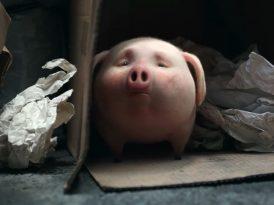 Sokaklarda yalnız bir domuz