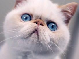 Kedi kakası hakkında çok yanlış anlaşılmalar