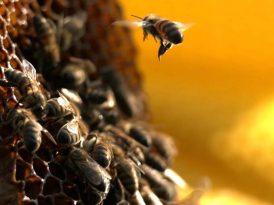 Bu arıya kulak verin
