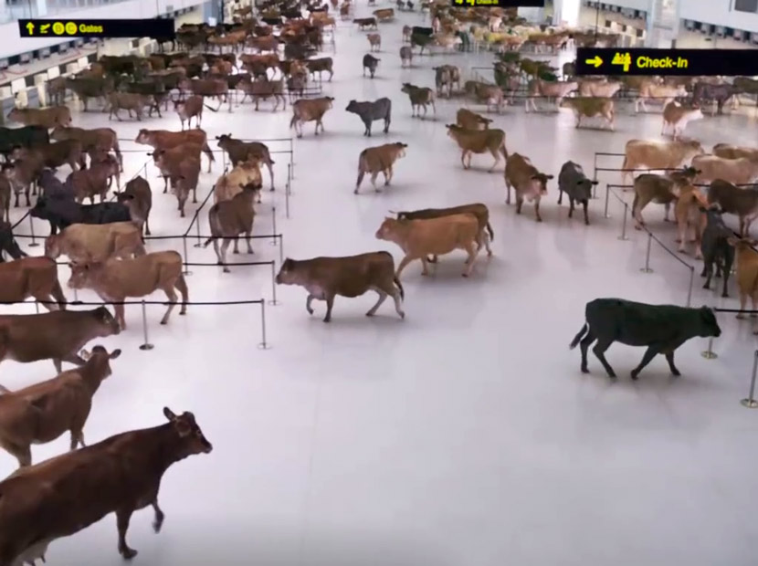 Sığırlarla dolu bir havaalanı